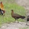 Pheasant Breeding Centre Morni