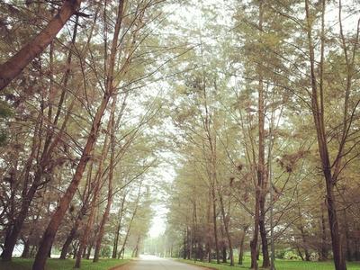 Pine Trees In Bontang