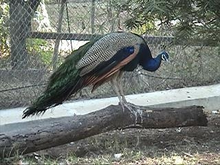 Peacock In The Aviary At Karanji Lake