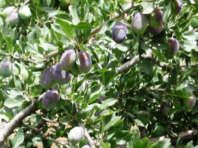 Plums Grow In The Village Of Berrem, South Of Midelt