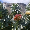 Waboom Protea In The Kogelberg Mountains