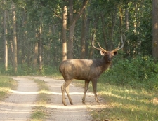 Sambar Male With Longer Horn