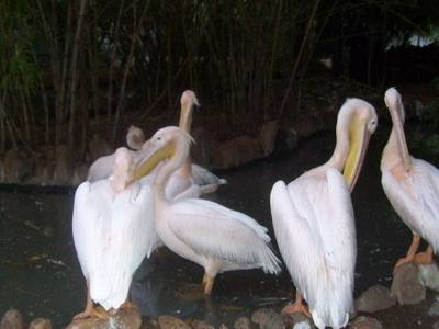 Pelicans At The Zoo