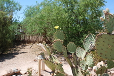 A Blooming Prickly Pear At Boothill Graveyard