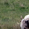 Chillingham Cattle Grazing