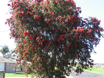 The Red Flowering Bottle Brush Callistemon Viminalis