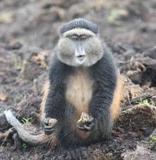 Golden Monkey In Volcanoes National Park Rwanda