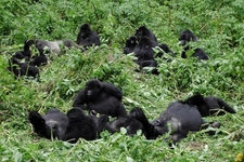 Gorillas In The Wild