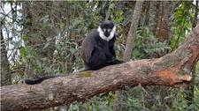 Lhoest Monkey Nyungwe Forest