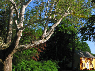 The Buttonball Tree Is An American Sycamore