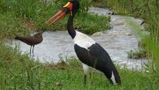 Saddle-billed Stork In Murchison Falls National Park Uganda