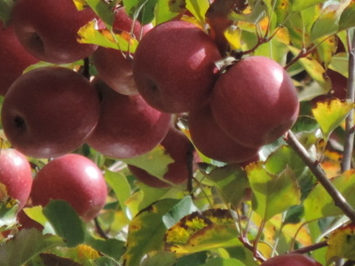 Pink Lady Apples, Orchard In Thulimba