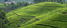 Tea Plantation In Nuwara-Eliya