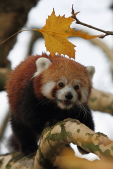 A Red Panda (Ailurus Fulgens Fulgens) In Diergaarde Blijdorp