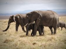 Elephants Grazing In Masai Mara