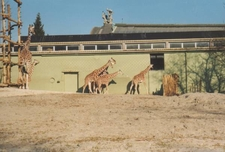 Giraffes And Monumental Building