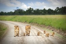 Lionesses With Cubs In Masai Mara