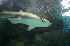 Sand Tiger Shark At The Aquarium