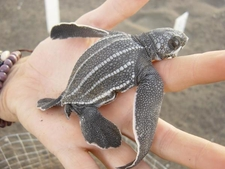 Sea Turtle Conservation Guatemala 3