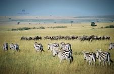 Zebra And Wildebeest Grazing In Masai Mara Plains