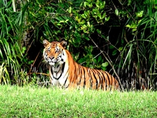 Royal Bengal Tiger, Sundarban, Bangladesh.