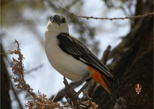 Bsc Jan6th White Headed Buffalo Weaver
