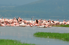 Flamingoes3