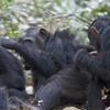Gombe Chimpanzee Safari Package