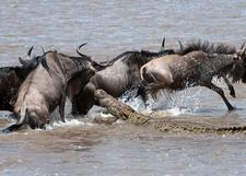 Mara River Crossing Plus Crocodile