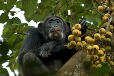 Chimpanzee Feeding2