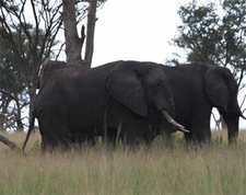 Elephanst Grazing