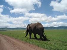 The Bull Elephant -Ngorongoro Crater