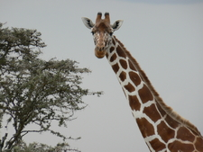 Giraffe Looking