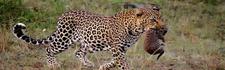 Leopards1