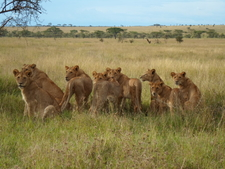 Pride Of Lions Serengeti