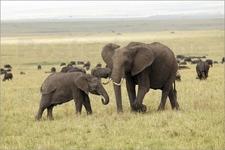 Grazing Elephants On Safari In Kenya61828795 N