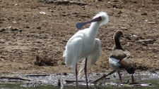 African Spoonbill Coating Egyptian Goose