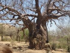 Baobao Tree In Bushmen Village