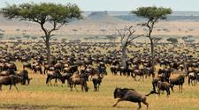 Wildebeests During Migration In Masai Mara
