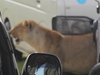 Lion Between Vehicles