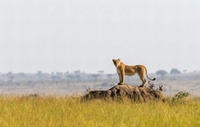 A Lioness Takes Advantage Of A Collapsed Termite Mound, Masai Mara