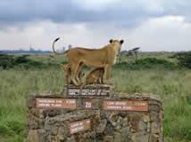 Lion Nairobi Park Game Viewing
