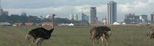 Ostrich Nairobi Kenya