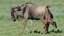 Wildebeest Calving Tanzania Serengeti Park