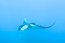 Manta Rays Are Seen Year Around In Costa Rica