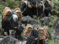 Yaks Trial In Arunachal Himalayas