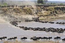 The World Amazing Wildebeests Migration