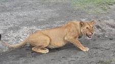 Lioness Tz