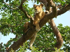 Climbing Lions-Ishasha Wilderness Uganda