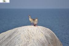 Egyptian Goose 3